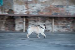 Morning Pug (runningboffin1) Tags: pug dog coogee sydney newsouthwales australia doug morning beach