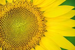 Sunflower Macro 3-0 F LR 7-14-16 J218 (sunspotimages) Tags: flowers flower sunflower nature