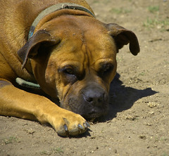 Dog In The Dirt (swong95765) Tags: dog cute homeless guard dirt resting alert aware