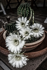 incredible nature (Sere TriBe82) Tags: flowers cactus desert plant white spurs
