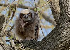 No pictures please!  [Great Horned Owlet] (Henrietta Oke) Tags: owl bird birdofprey nature wildlife 20005000mmf56 nikon nikon5300 owlet tree nest greathornedowl wings feathers