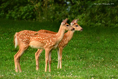 Twins (djsime) Tags: deer fawns twins myrebigislandstatepark statepark minnesota southernminnesota summer july