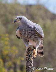 Gray Hawk (Anne Marie Fraser) Tags: bird animal gray hawk arizona desert