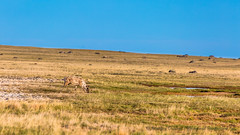 Blending in-9054 (Mathieu Dumond) Tags: canada arctic nunavut kugluktuk ulurvik tundra north nature wildlife animal mammal ungulate caribou summer july sunny mathieudumond umingmakproductions