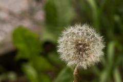 IMG_2574 (ludovic.perianin) Tags: extérieur plante fleur profondeur de champ macro poilu herbe