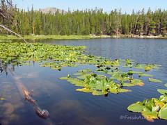 Water Lillies at Sherd Lake (RootsRunDeep) Tags: waterlillies nature landscape yellow flower water lake sherdlake mountain bighornmountains view scenery pine trees