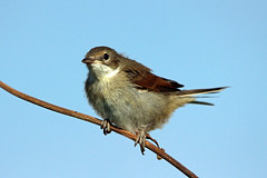 Whitethroat (juvenile) (NickWakeling) Tags: birds wildlife whitethroat canon600d sigma150500mmf563dgoshsm oldcatton norfolk nature