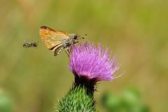 Attenzione alle spalle (luporosso) Tags: natura nature naturaleza naturalmente nikond300s nikon farfalla farfalle butterfly butterflies bugs buz insect insetto insetti fiori fiore fioredicampo macro closeup