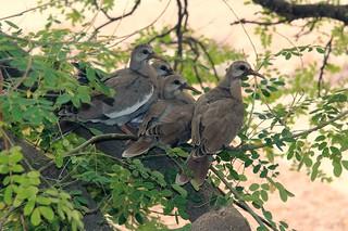 Dove fledglings outside my window_9525
