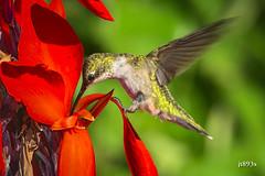 Ruby-throated Hummingbird (jt893x) Tags: 150600mm archilochuscolubris bif bird d500 hummingbird jt893x nikon nikond500 rubythroatedhummingbird sigma sigma150600mmf563dgoshsms specanimal
