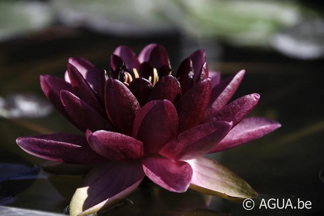 Waterlelie Almost Black / Nymphaea Almost Black