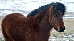 Icelandic Horse (darrenboyj) Tags: winter wild horses horse brown white cold hair iceland eyes country group windy blowing breeze tame mane inquisitive icelandic