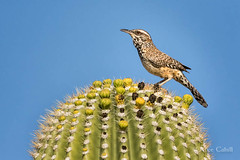 Cactus Wren (alicecahill) Tags: wild arizona cactus usa bird nature animal desert tucson wildlife az wren cactuswren sabinocanyon saguarocactus droh dailyrayofhope ©alicecahill