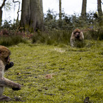 Barbary macaque at Trentham Monkey Forest thumbnail