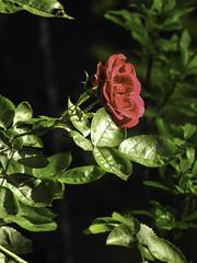 Lone Rose, Emerging Overcast Sun