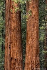 Kern River - Standing Guard - 0767 (www.karltonhuberphotography.com) Tags: california old trees nature vertical proud forest giant landscape ancient sierra historic precious huge tall spiritual naturalwonder naturalworld impressive aweinspiring magnificent bigtrees monarchs noble naturephotography sequoias sierranevadamountains 2015 landscapephotography naturestreasure 100giantstrail karltonhuber nikond750