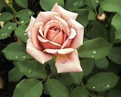 KokoLoko --So unusual and lovely! (MissyPenny) Tags: usa flower rose garden pennsylvania pastel floribunda pdlaich