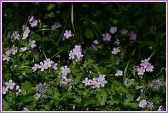 ||| Woodland Geranium Patch ||| (Wolverine09J ~ 1.7 Million Views) Tags: wildflower wildgeranium purpleblossoms floraaroundtheworld naturespoetry~level1 forestfloral