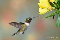 Male Ruby-throated Hummingbird (2015-06-06: 5920) (bechtelsf) Tags: ohio bird nikon hummingbird rubythroated hancockcounty d810 nikon80400mm