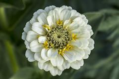 Dwarf Zinnia (PriscillaBurcher) Tags: whiteflower ngc zinnia florblanca dwarfzinnia zinniaxhybrida l1040362