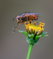 Collecting pollen (rachelsloman) Tags: flower macro insect fly pollen