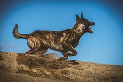IMG_0717 (jabberjinx) Tags: dog dogs canon shepherd canine hh brindle dutchshepherd dogphotos hollandse dutchie paimenkoira hollandseherder canoneos7d canon7d hollanninpaimenkoira holsku