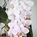 Phalaenopsis Pinlong Cheris
