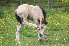 In the buttercups (themadbirdlady) Tags: horse foal buttercups domesticanimal rural