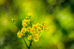 Bokehlicious summer (5) (Karsten Gieselmann) Tags: microfourthirds gelb vintagelens schrfentiefe czjpancolar50mmf18 blumen grn em5markii bokeh kgiesel blten dof farbe olympus blossom color flower green m43 mft yellow