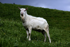 The facing Goat (Andreas Mezger - Art Photography) Tags: orange goat strom black sky atholzer mountains south tirol colourful green blue dark vibrant lokking facing