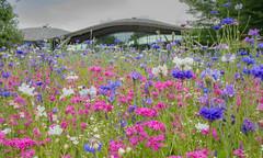 Wildflower planting at The Savill Garden (markhortonphotography) Tags: wildflower savillgardens markhortonphotography pink thesavillgarden surrey blue thesavillbuilding cornflower white
