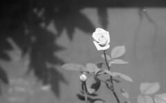160625_PentaxMe_020 (Matsui Hiroyuki) Tags: pentaxme jupiter985mmf20 fujifilmneopan100acros epsongtx8203200dpi