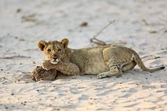 Desert Lion Cub in Hoanib, Namibia (ynaka29) Tags: namibia hoanib camp safaris safari africa lion cub desert skeletoncoast hoanibskeletoncoastcamp wildernesssafaris desertlioin