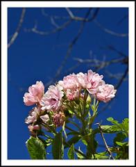 Rose Blooms Reach For The Sky (sjb4photos) Tags: michigan ypsilanti rose