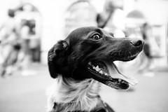 Sally the dog (lorenzoviolone) Tags: agfascala200 bw blackwhite blackandwhite dof dog finepix fujix100s fujifilm fujifilmx100s monochrome vsco vscofilm x100s depthoffield mirrorless puppy streetphoto streetphotobw streetphotography teeth tongue walk:rome=july102016 roma lazio italy fav10 fav25 fav50 flickr:explore=true fav100