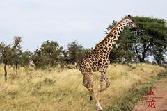 Running Giraffe (DragonSpeed) Tags: africa tanzania mammal safari mara tz giraffacamelopardalistippelskirchi serengetinationalpark masaigiraffe maasaigiraffe tzday05 loboregion africanwildcatsexpeditions