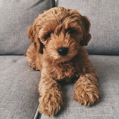 :: our sweet girl. Dallas :: (www.contemplatingtheexquisite.typepad.com) Tags: australianlabradoodle puppy