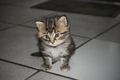 #kitten #cat #cute #posing #cuteness #pet #animal (dario0806) Tags: animal pet posing kitten cuteness cute cat