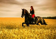 Riding (pyrolim) Tags: pferd reiten frau kornfeld friese sommer abend
