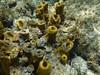 L'éponge tubulaire jaune (Yellow tube sponge) 海綿 (lulun & kame) Tags: アメリカ大陸 snorkeling scottshead america dominica シュノーケリング スコッツヘッド ドミニカ