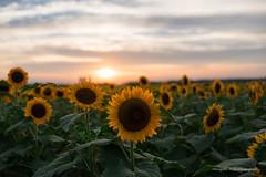Sunflower and sunset (Hiroyoshi Wada) Tags: sunflower sunset sun field garden skysape cloudscape cloud sky flowescape sony a7ii tamron 35mm sp f18 di vc usd f012
