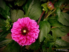 Dahlia (Rollingstone1) Tags: dahlia flower flora pink plant nature outdoor flowerbud natural