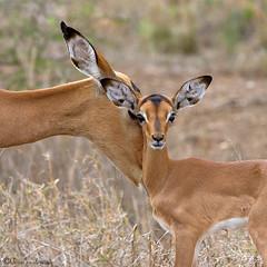 For the Family Album (leendert3) Tags: impala sunrays5 ngc