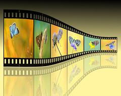 Projekt 1 (~Simmy~) Tags: macro makro digital summary filmstreifen filmstripes projekt project butterflies schmetterlinge simonenoll bilder insectpictures colours farben ~themagicofcolours~viii