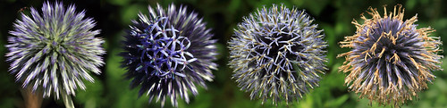 """Kugeldistel (Echinops) • <a style=""""font-size:0.8em;"""" href=""""http://www.flickr.com/photos/69570948@N04/28692952472/"""" target=""""_blank"""">View on Flickr</a>"""