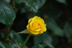 Yellow Rosebud at King John's Castle - Explored 14/08/2016 (Errols Cuz) Tags: flowers roses dungarvan countywaterford ireland teresaflynn explore inexplore