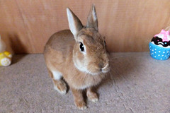 Ichigo san 290  (mensore) Tags: brown bunny cute family ichigo netherland dwarf netherlanddwarf pet rabbit