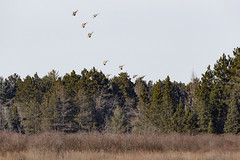 Sandhill Cranes (Grus canadensis) (Bugbait of Seney) Tags: sandhillcranes sandhillcrane gruscanadensis seneynationalwildliferefuge upperpeninsula michigan annualmidwestcranecount