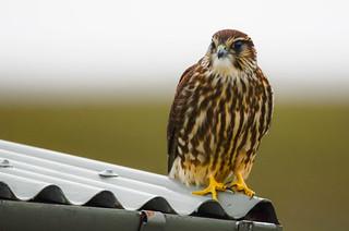 Smyrill - Merlin - Falco columbarius