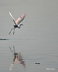 L'envol de l'aigrette... / Aigret taking off... (Pentax_clic) Tags: imgp0603 aigrette faune oiseau aout 2016 robert warren vaudreuil quebec pentax